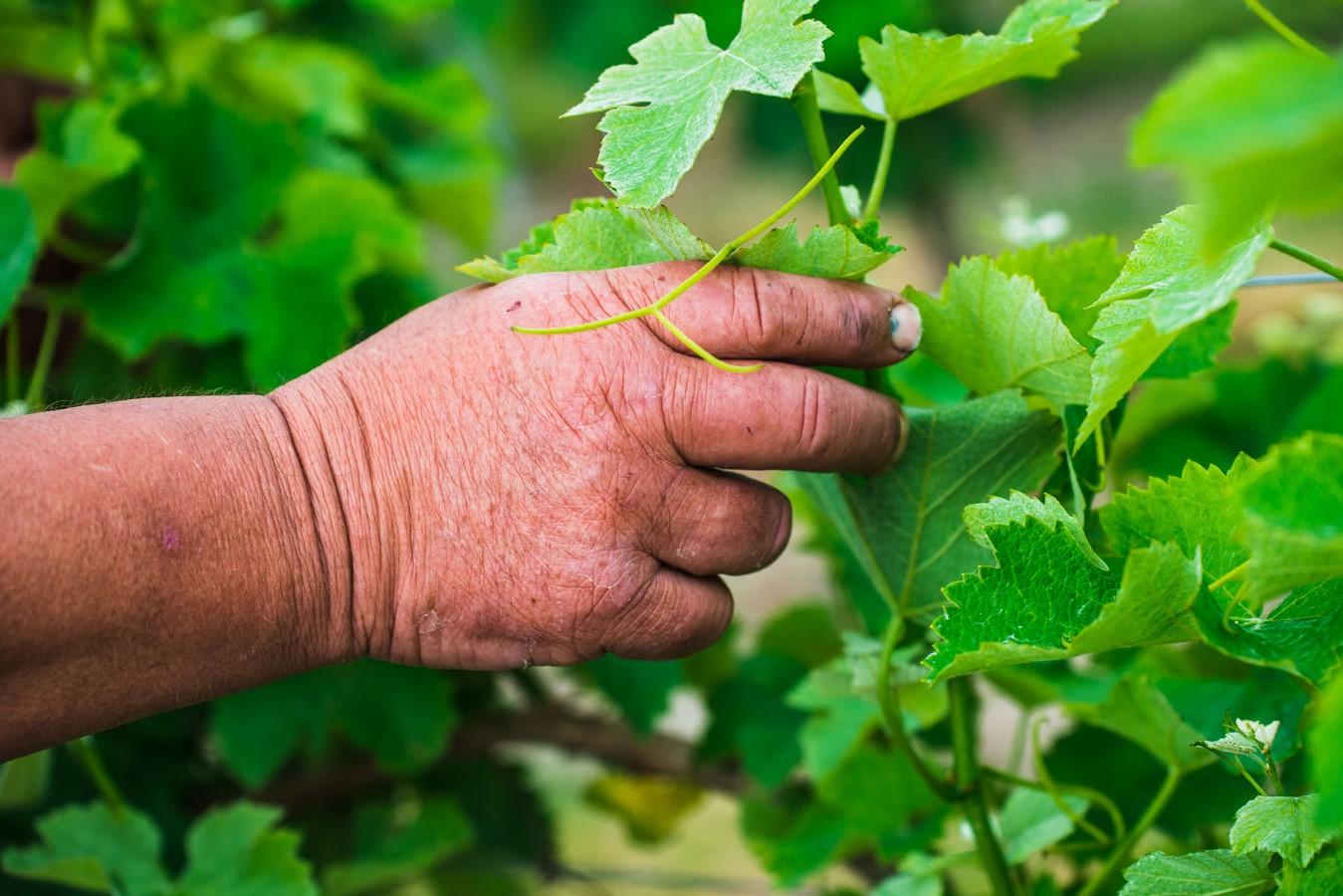 Main feuille de vigne