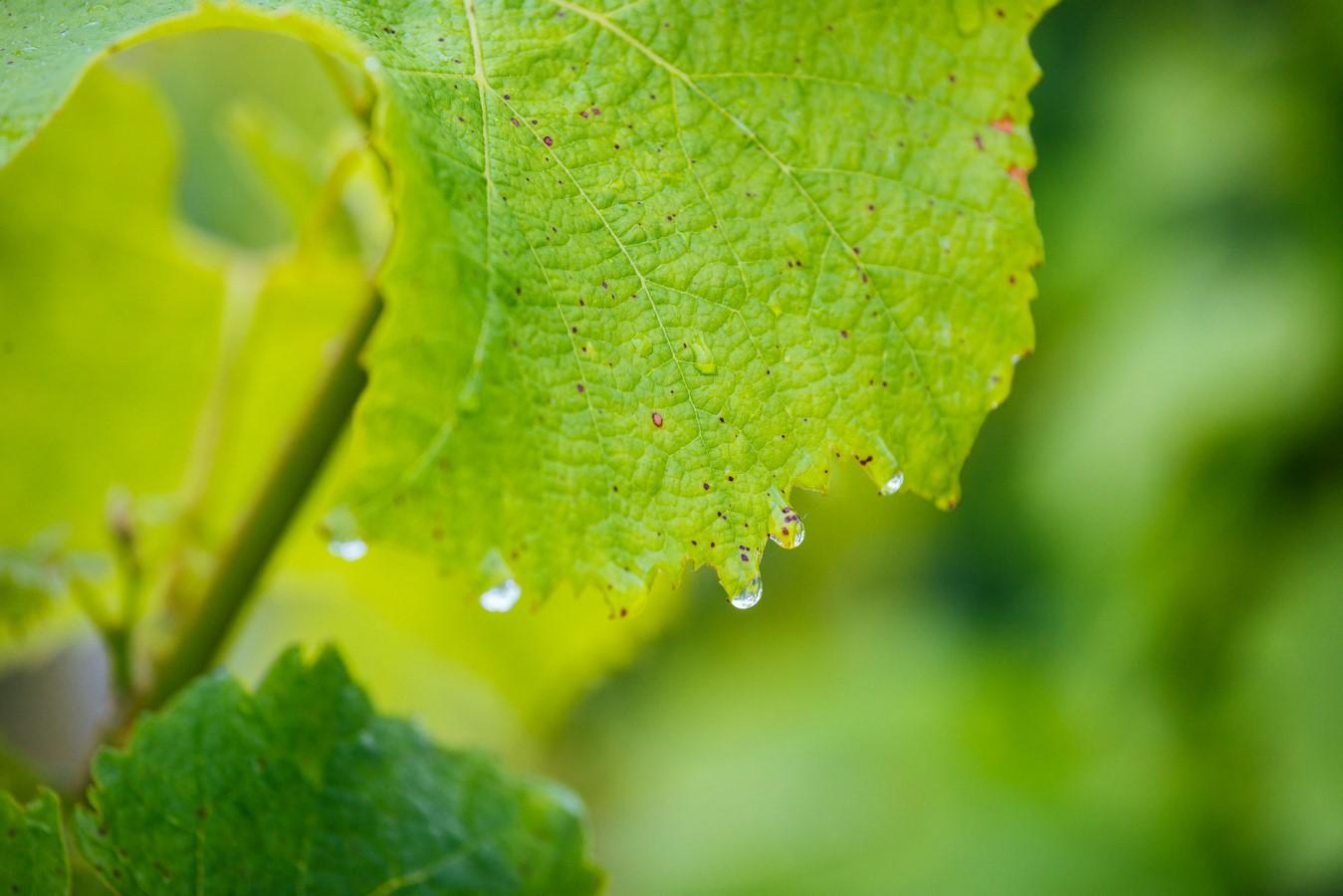 Feuille vigne pluie